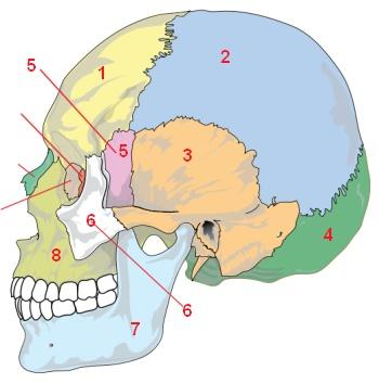Knochen und Gelenke: antomische Übungen