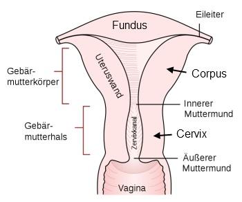 Geschlechtsorgane  Geb  228 rmutterCorpus Of Uterus