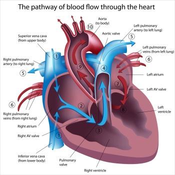 Herz-Klappen: Lage und Funktion