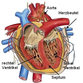 Herz: Aufbau und Funktion