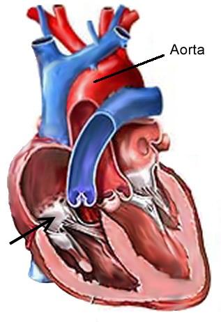 Herzvorhöfe: anatomische Grundkenntnisse