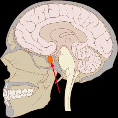 Hypophyse für Heilberufe