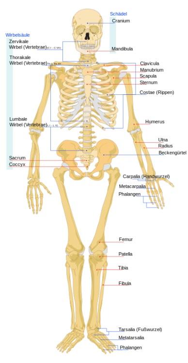Knochen: Grundlagen Aufbau und Funktion:
