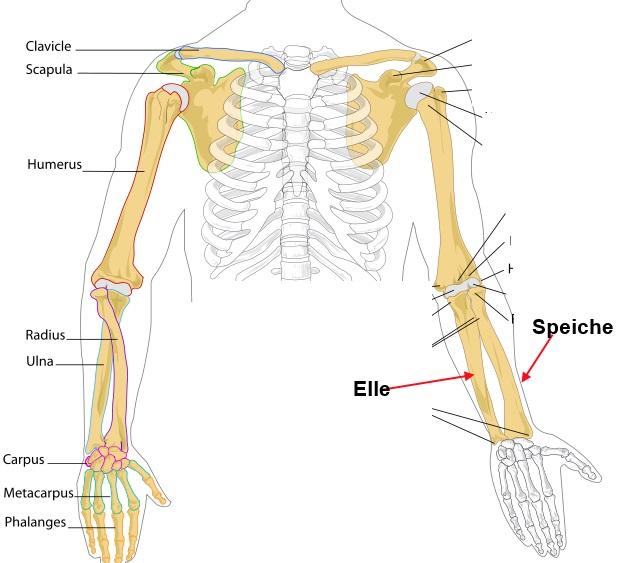 Knochen: Prüfungsfragen