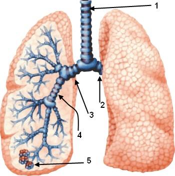 Lunge Anatomie: Übungen und Klausur-Fragen