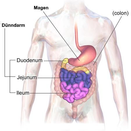 Dünndarm: Anatomie u. Physiologie