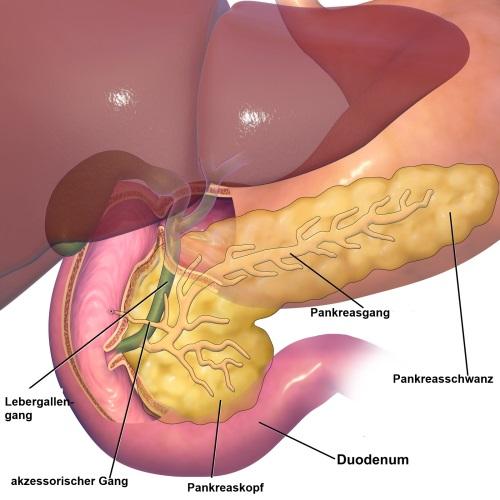 Gallenblase und Gallenwege: Anatomie / Physiologie