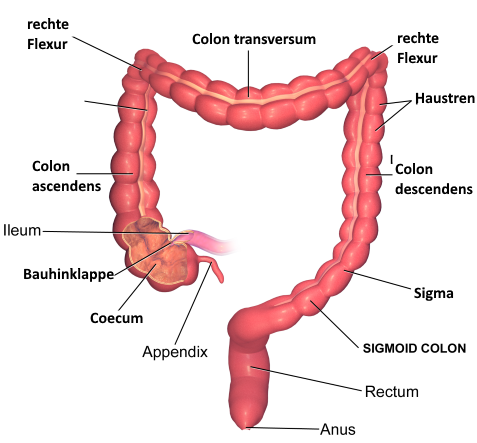 Anatomy of large intestine