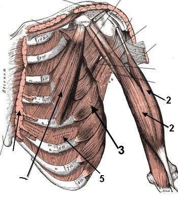 Muskeln der Schulter