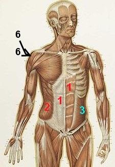 Muskeln die das schultergelenk bewegen