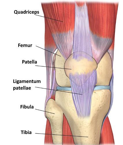 Muskeln am Knie