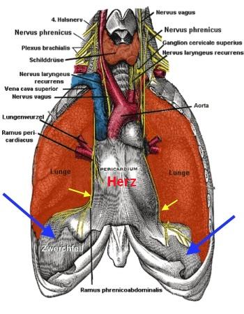 Zwerchfell und Atemmuskulatur