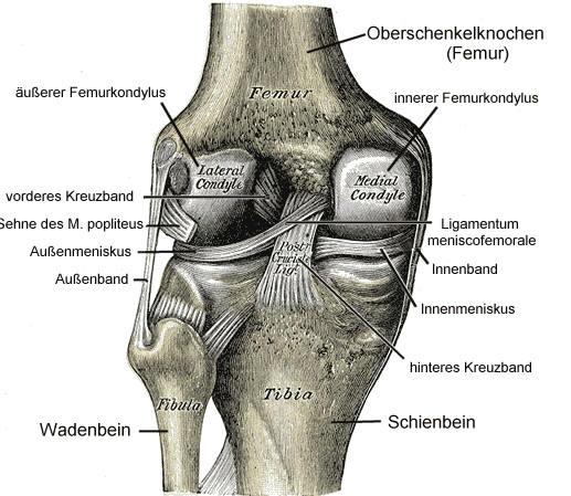 Knie Anatomie für Heilberufe